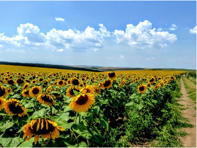 Bulgaria campo di girasoli
